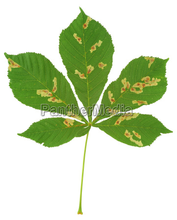 leaf of chestnut tree attacked by