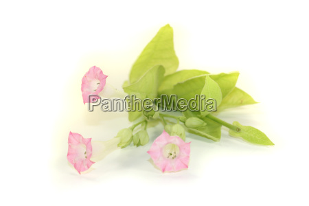 tobacco plant with pink flowers