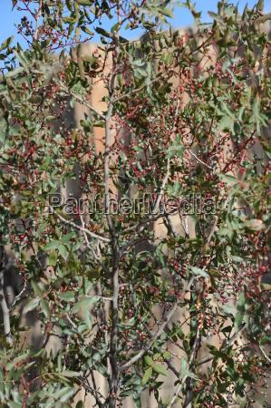 pistachio tree pistachios shrub
