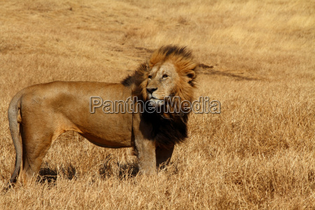 lion standing against the wind
