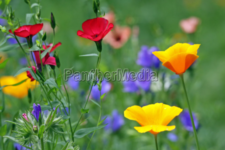 flowering meadow with poppy and red