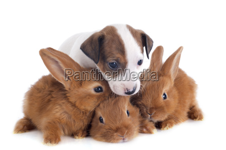 jack russel terrier and bunnies