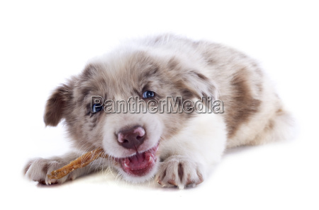 eating puppy border collie