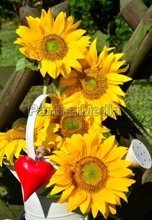 sunflowers heart love