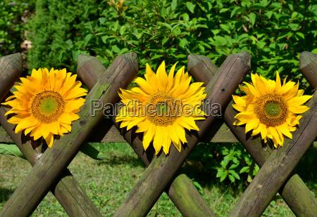 sunflowers picket fence garden