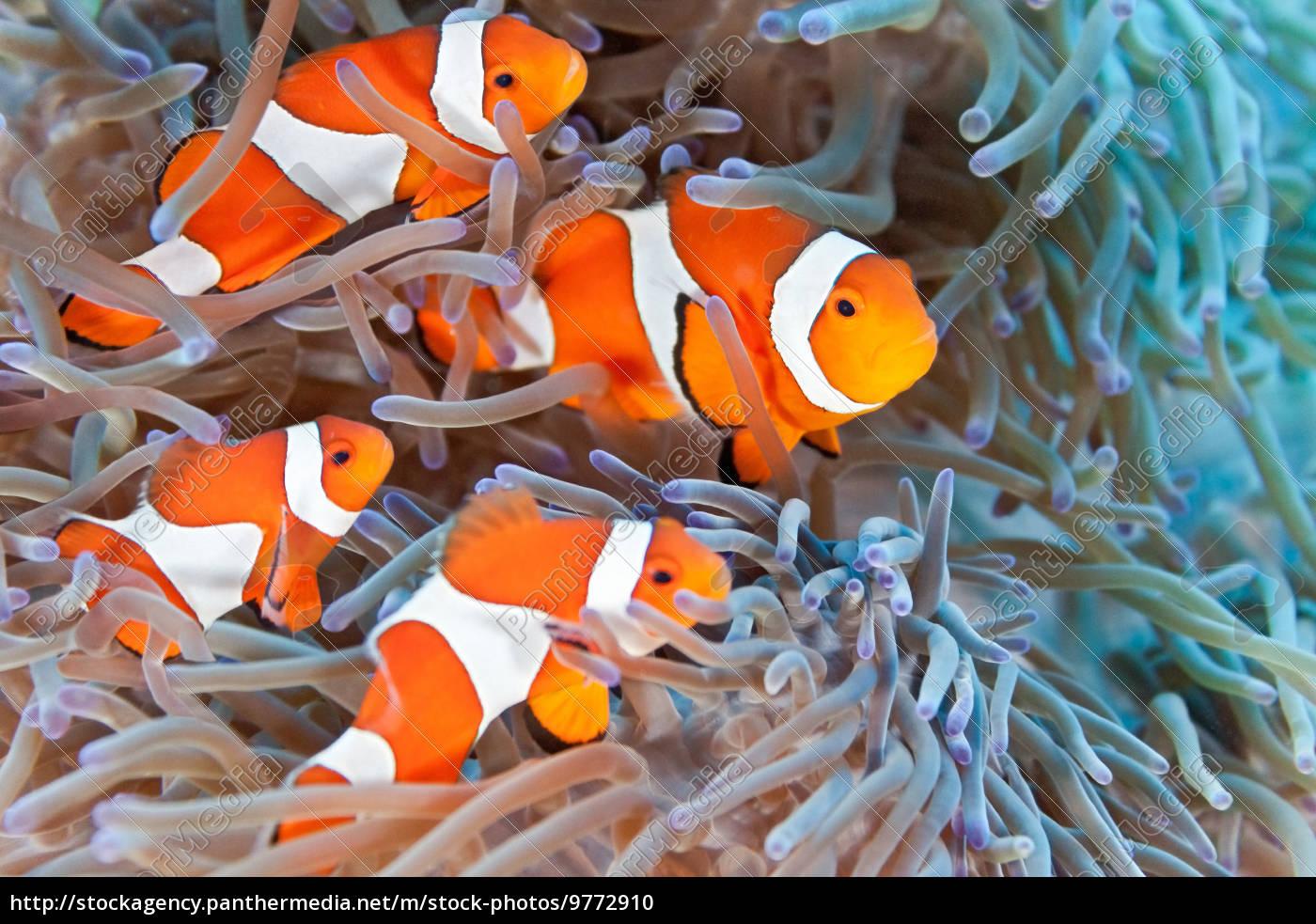 clownfish - 9772910