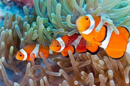 clownfish - 9772912