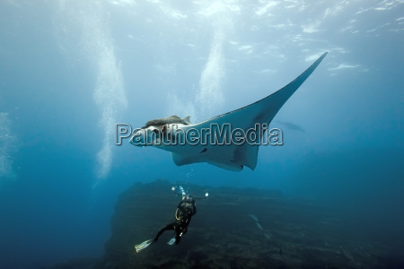 manta and photographer on the reef