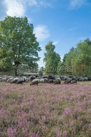 heidschnucken in the lueneburg heath to