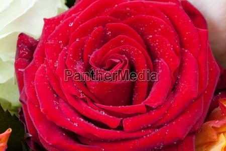 scarlet rose close up