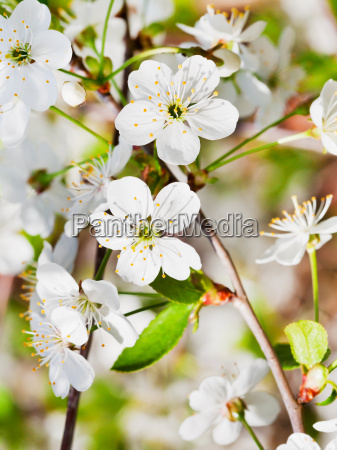 white cherry blossoms on twig
