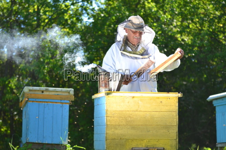 experienced senior beekeeper making inspection in