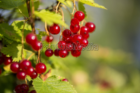 zoomed bunch of redcurrants hang on