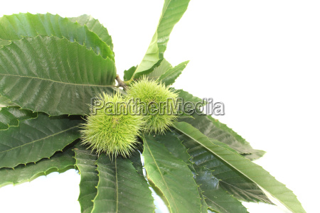 chestnuts with fruits and leaves