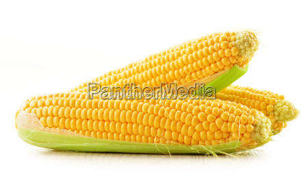 ears of corn isolated on a