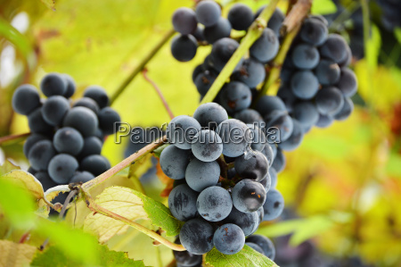 bunch of fresh red grapes