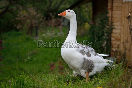 goose in the meadow