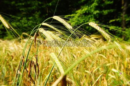 ears of barleyrn