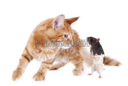 maine coon kitten and rat