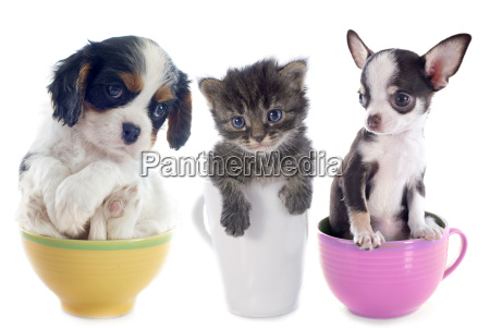 kitten, and, puppies, in, teacup - 10007242