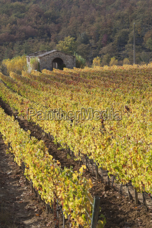 rows of vines at sunset in
