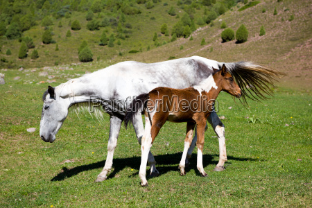 foal and grey horse