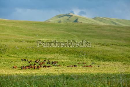 big herd of horses
