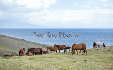 herd of horses at the lake