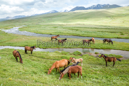 pasturing horses and foals