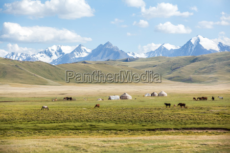horses grazing in mountains near yurts