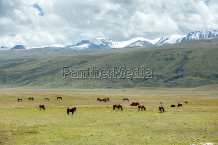 group of horses pasturing