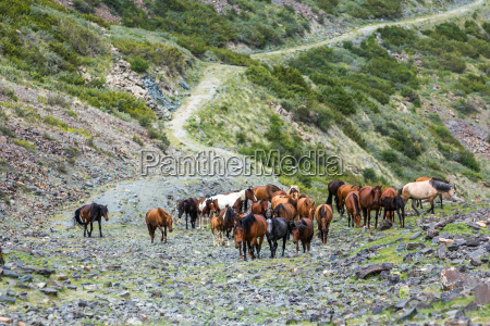 large group of horses going up