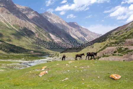 three grazing brown horses