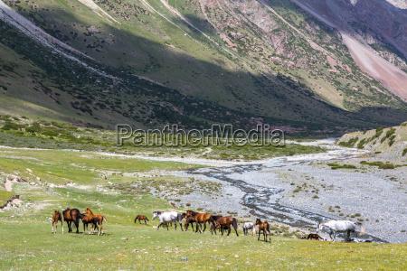 herd of horses pasturing near mountain