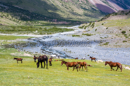 horses pasturing in mountains near the