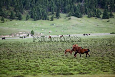horses feeding grass