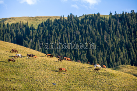 large herd of horses grazing at