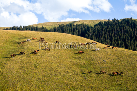 large herd of horses on the