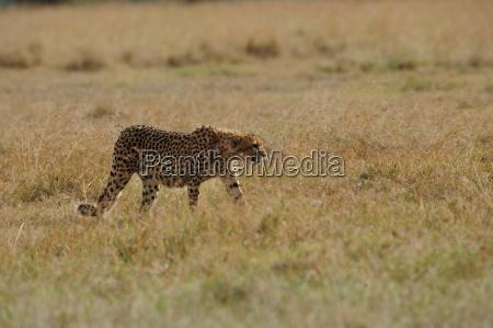 cheetah - 10017490