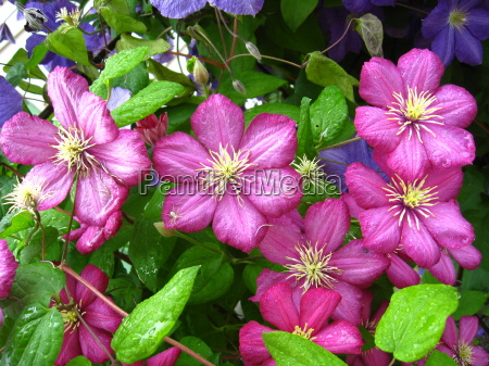 beautiful, pink, flowers, of, clematis - 10021962