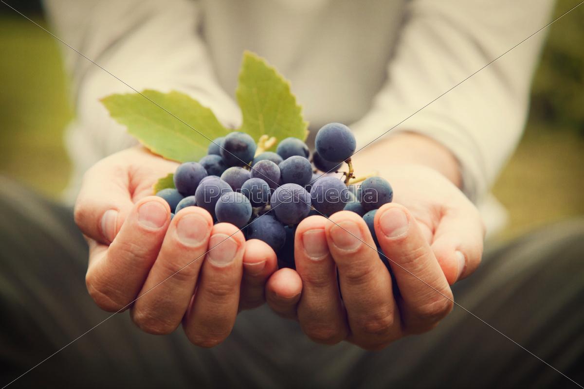 grapes, harvest - 10023806