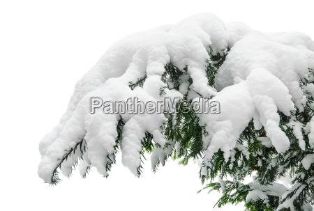 snowy pine branch