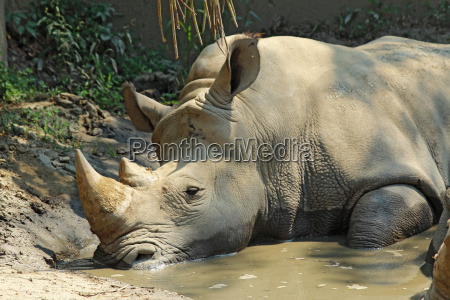 white rhinoceros in a wallow at