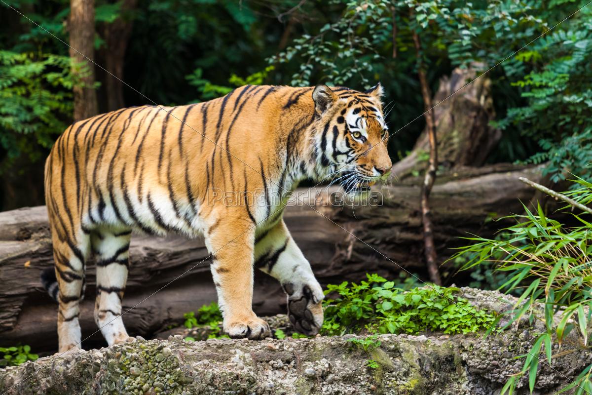 tiger - 10057498