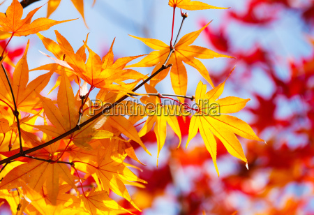 color changing maple leave in autumn