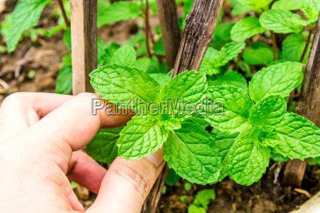fresh mint leaves on a garden