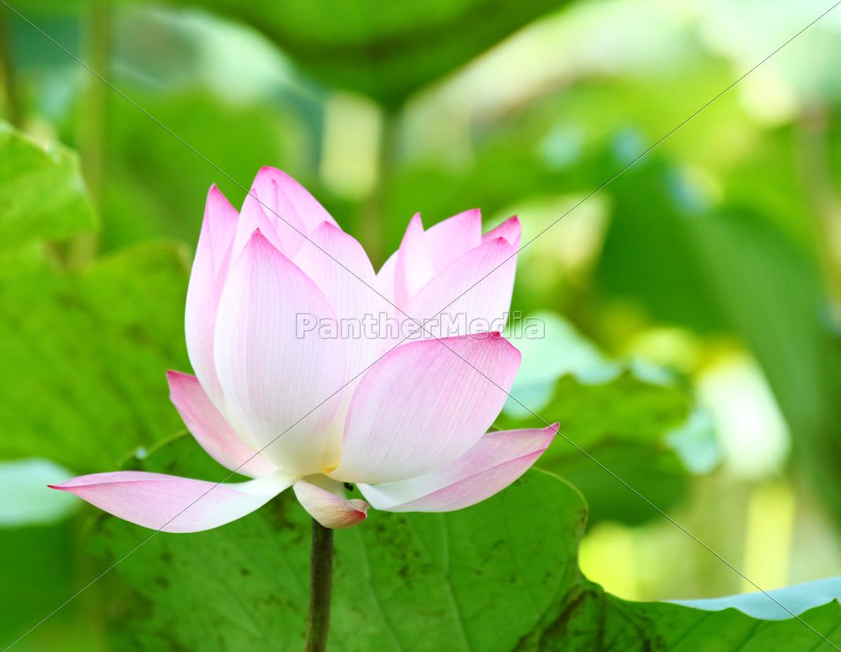 pink, lotus, flower - 10065116
