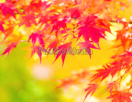 yellow, and, red, maple, leave, in - 10065066