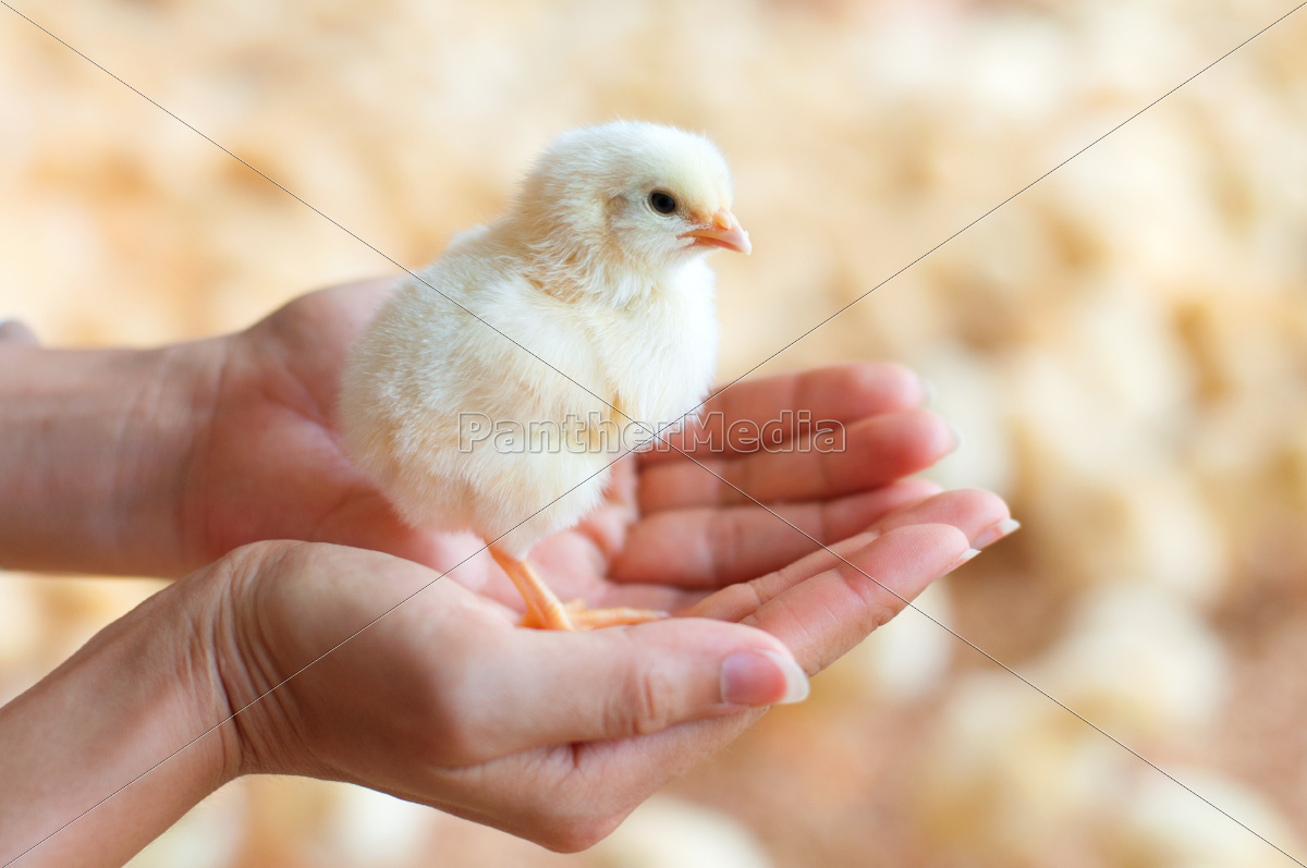 holding, a, chick, in, hand - 10066618