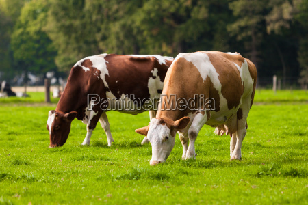 cows on meadow grazing calves